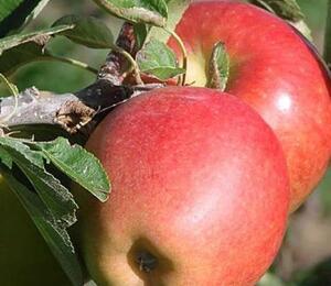 Jabloň zimní 'Braeburn Red' - Malus domestica 'Braeburn Red'
