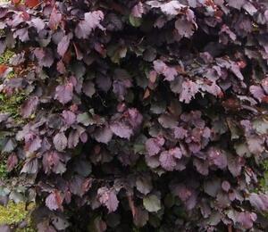 Líska obecná 'Lombardská červená' - Corylus avellana 'Lombardská červená'