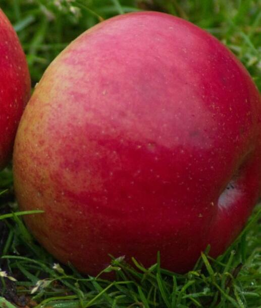 Jabloň zimní 'Gdáňský hranáč' - Malus domestica 'Gdáňský hranáč'