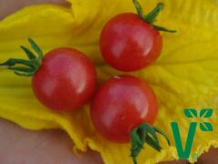 Rajče keříčkové divoké 'Rote Murmel' - Solanum pimpinellifolium 'Rote Murmel'