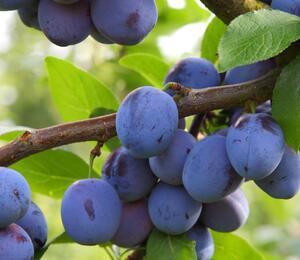 Pološvestka - středně raná 'Jojo' - Prunus domestica 'Jojo'