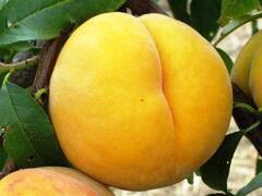 Broskvoň 'Catherina' - Prunus persica 'Catherina'