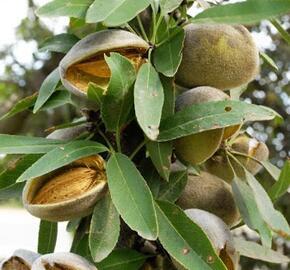 Mandloň obecná 'Zora' - Prunus amygdalus 'Zora'