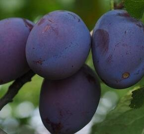 Pološvestka - velmi pozdní 'Tuleu Gras' - Prunus domestica 'Tuleu Gras'
