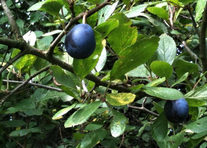 Pološvestka - velmi pozdní 'Černčická' - Prunus domestica 'Černčická'