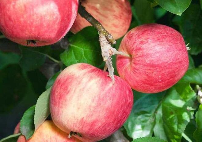 Jabloň zimní 'Piros' - Malus domestica 'Piros'