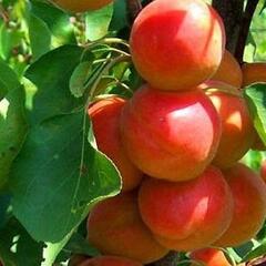 Meruňka 'Golden Sun' - Prunus armeniaca 'Golden Sun'