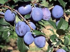Švestka domácí 'Toptaste' - Prunus domestica 'Toptaste'