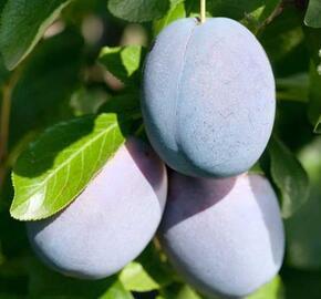 Švestka pozdní 'Haganta'® - Prunus domestica 'Haganta'®