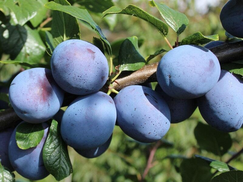 Pološvestka - velmi pozdní 'Tophit' - Prunus domestica 'Tophit'