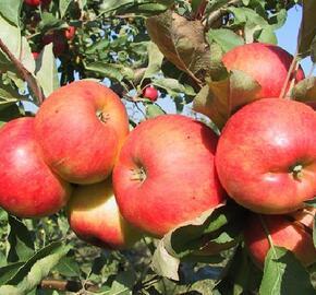 Jabloň podzimní 'Telse' - Malus domestica 'Telse'