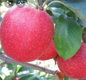 Jabloň zimní 'Gala Fengal' - Malus domestica 'Gala Fengal'