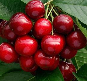 Třešeň pozdní 'Těchlovan' - Prunus avium 'Těchlovan'
