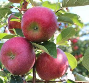 Jabloň zimní 'Rubelit' - Malus domestica 'Rubelit'