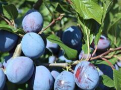 Švestka pozdní 'Haroma' - Prunus domestica 'Haroma'
