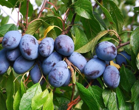 Pološvestka pozdní 'Jofela' - Prunus domestica 'Jofela'