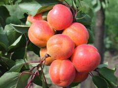 Meruňka středně raná 'Adriana' - Prunus armeniaca 'Adriana'