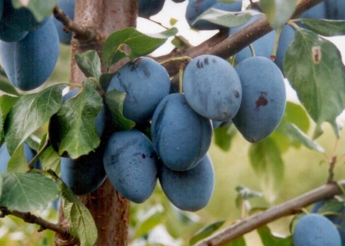 Pološvestka velmi pozdní 'Topend Plus' - Prunus domestica 'Topend Plus'