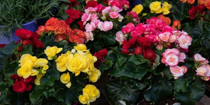 begonie v nádobách mnoho barev