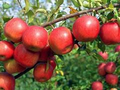 Jabloň zimní 'Rondo' - Malus domestica 'Rondo'