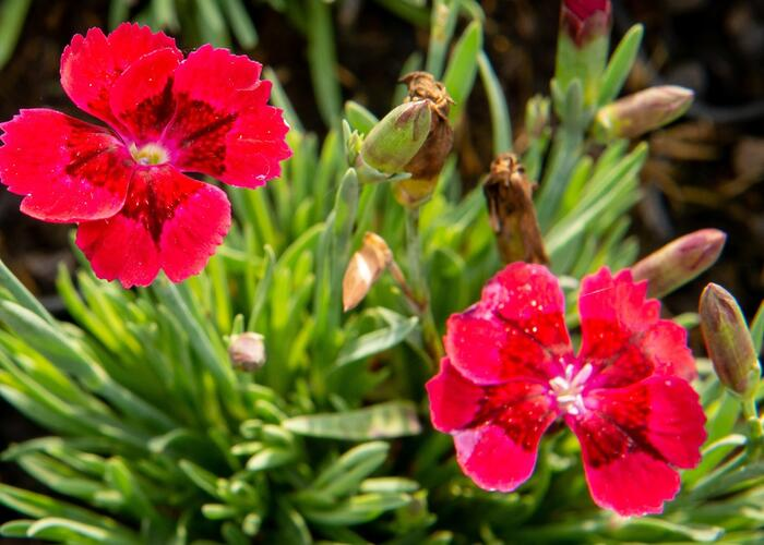 Hvozdík 'Pillow Red' - Dianthus 'Pillow Red'