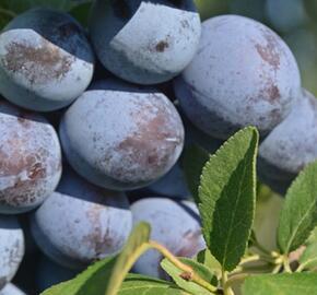 Švestka - pozdní 'Švestka domácí' - Prunus domestica 'Švestka domácí'