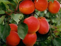 Meruňka pozdní 'Kioto' - Prunus armeniaca 'Kioto'