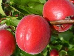 Meruňka středně raná 'Big Red' - Prunus armeniaca 'Big Red'