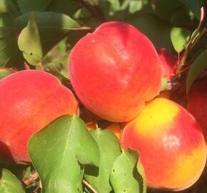Meruňka středně raná 'Samourai' - Prunus armeniaca 'Samourai'