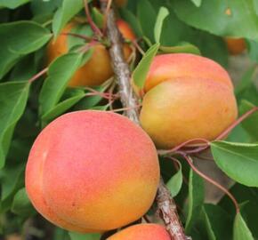 Meruňka velmi raná 'Pinkcot' - Prunus armeniaca 'Pinkcot'