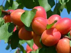 Meruňka velmi raná 'Tsunami' - Prunus armeniaca 'Tsunami'