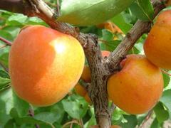 Meruňka velmi raná 'Spring Blush' - Prunus armeniaca 'Spring Blush'