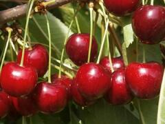 Třešeň pozdní 'Irena' - Prunus avium 'Irena'