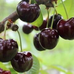 Třešeň pozdní - chrupka 'Tamara' - Prunus avium 'Tamara'