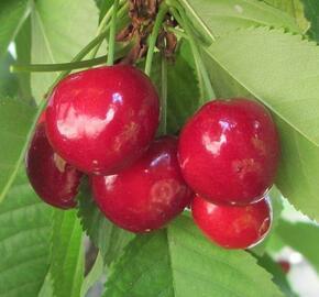 Třešeň středně raná - chrupka 'Summit' - Prunus avium 'Summit'