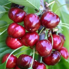 Třešeň velmi raná - chrupka 'Sweet Early' - Prunus avium 'Sweet Early'