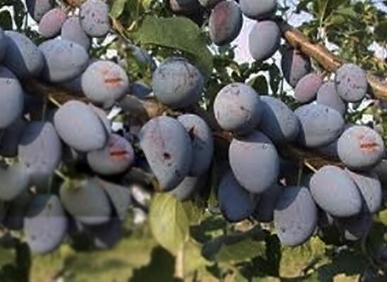 Švestka 'Topking' - Prunus domestica 'Topking'
