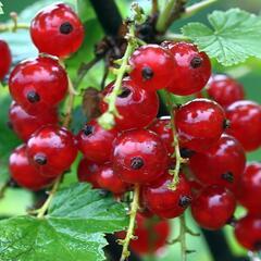 Rybíz červený 'Vitan' - Ribes rubrum 'Vitan'