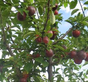 Slivoň 'Najdena' - Prunus hybrid 'Najdena'