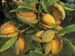 Mandloň obecná 'Ferragnes' - Prunus amygdalus 'Ferragnes'
