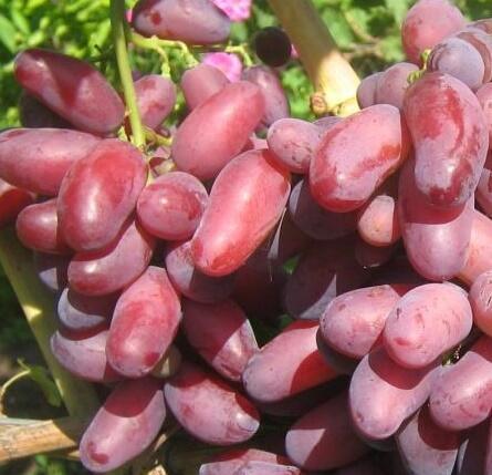 Réva vinná 'Izjuminka' - Vitis vinifera 'Izjuminka'