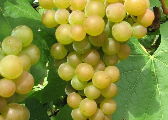 Réva vinná 'Pomeranč' - Vitis vinifera 'Pomeranč'