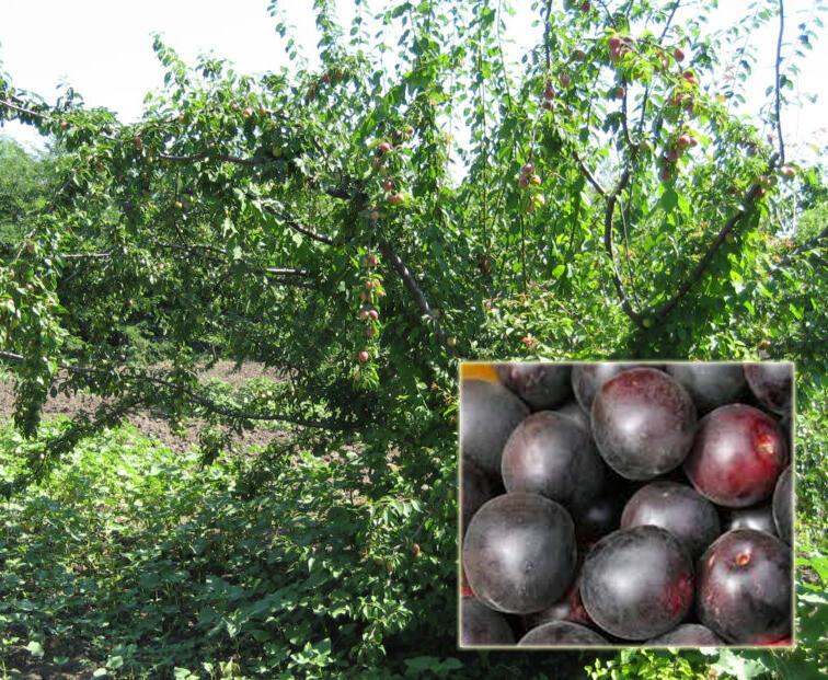 Švestkomeruňka 'Chernyj Barchat' - Prunus hybrid 'Chernyj Barchat'
