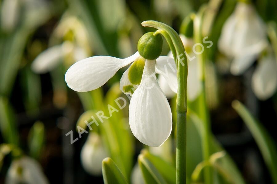 Sněženka Elwésova - Galanthus elwesii