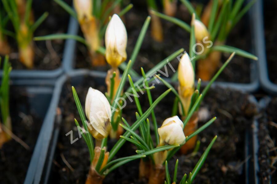 Krokus, šafrán zlatý 'Cream Beauty' - Crocus chrysanthus 'Cream Beauty'