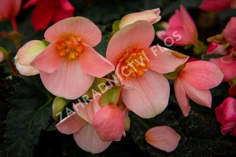 Begónie 'I'conia First Kiss Hot Pink' - Begonia 'I'conia First Kiss Hot Pink'