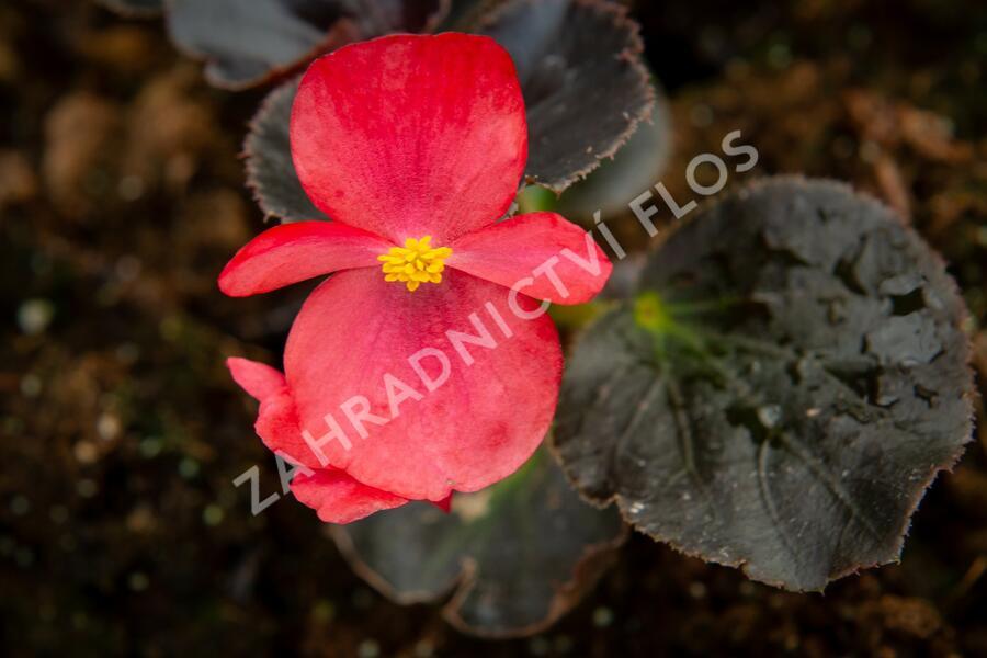 Begónie 'Red with Bronze Leaf' - Begonia benariensis 'Red with Bronze Leaf'