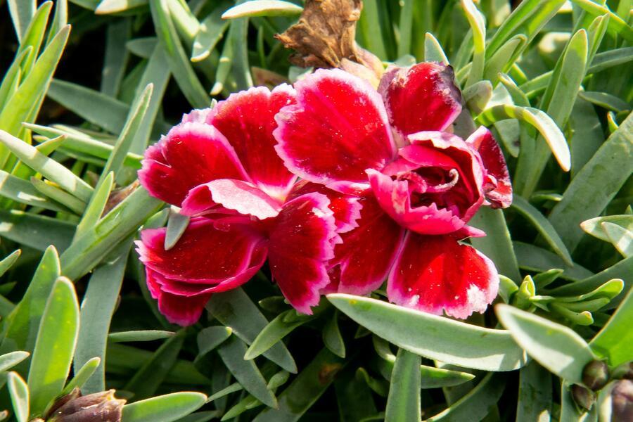 Hvozdík 'Diantica Burgundy' - Dianthus 'Diantica Burgundy'