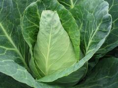 Zelí hlávkové bílé 'Pylon' - Brassica oleracea var. capitata 'Pylon'