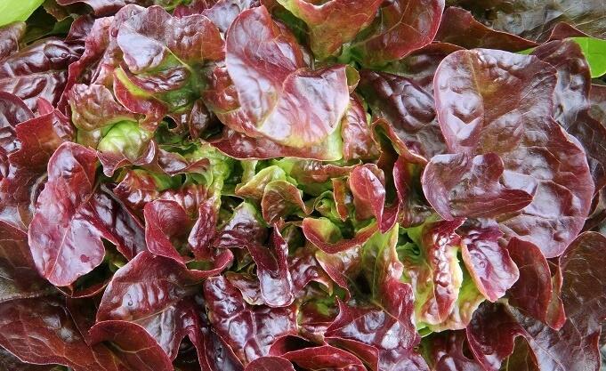 Salát hlávkový 'Sahim' - Lactuca sativa var. capitata 'Sahim'